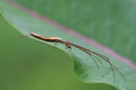 golden orb weaver: Lungo mascella Orb Weaver Spider
