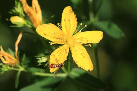 st john: St  John s Wort Flower