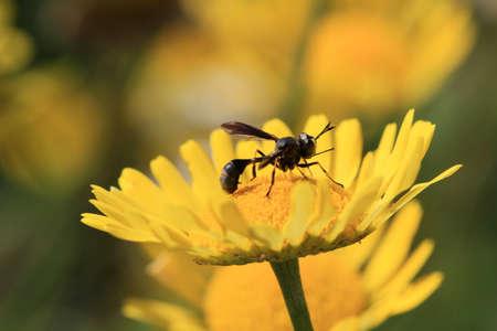 Épais Headed Fly