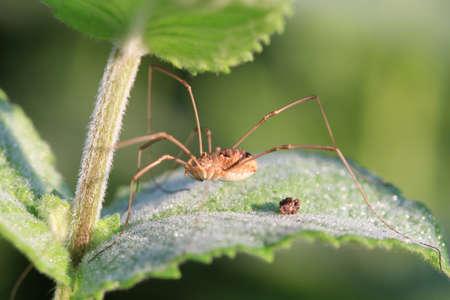 harvestman: Harvestman spider