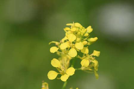 Hedge Mosterd bloem