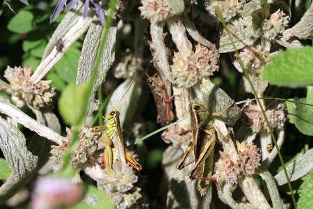male and female: Grasshopper male   female