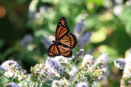 viceroy: Viceroy Butterfly  Stock Photo