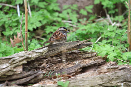 brown throated: White - throated Sparrow