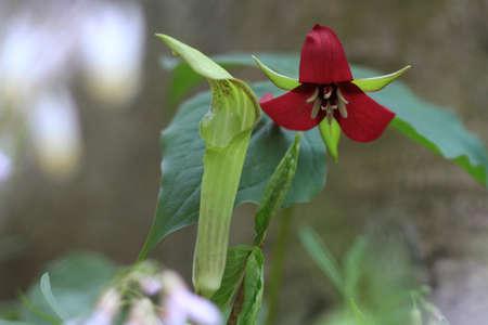 trillium: Red Trillium