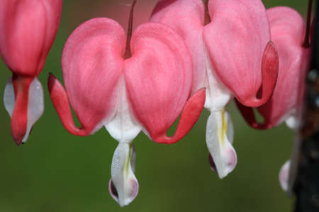 pink hearts: Bleeding Hearts Flower