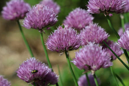 chive: Chive Flower Stock Photo