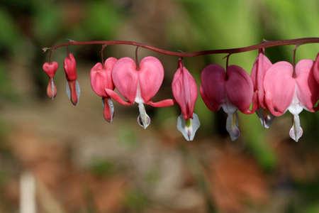 hemorragias: Bleeding Hearts Flower