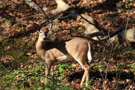 whitetailed: White-tailed Deer