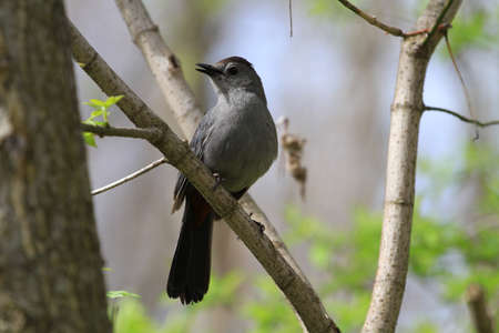 catbird: Gray Catbird Stock Photo