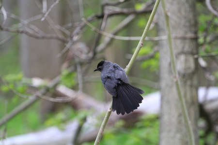 gray: Gray Catbird Stock Photo