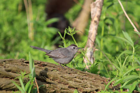 catbird: Gray Catbird perched on dead log Stock Photo