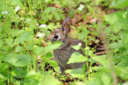 wild animal: Cotton-tail Rabbit