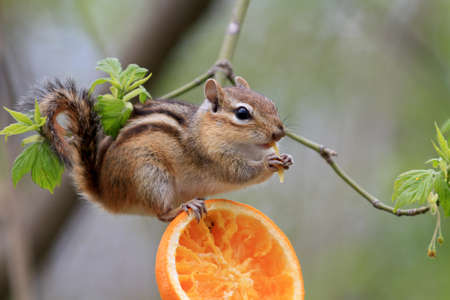 chipmunk eating orange on branch Foto de archivo