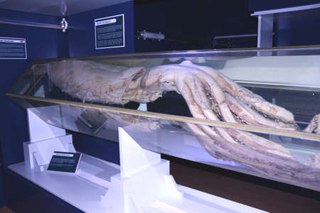 Giant Squid in CEPESMA (Luarca)