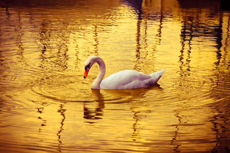 White Swan in golden background photo