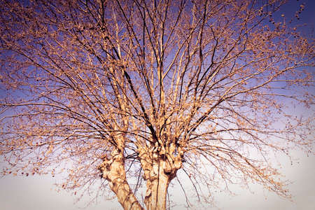 toned image: Detail of plane tree - toned image