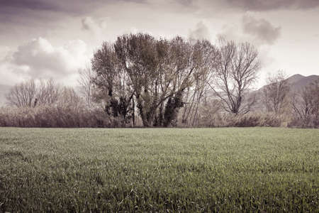 wheatfield: Isolated trees in a wheatfield before a rainstorm - (Tuscany - Italy) toned image