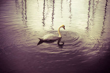 toned image: White Swan in purple background - toned image