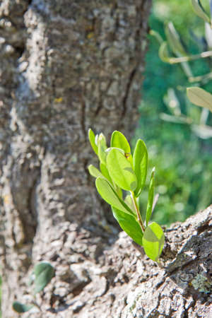 copse: Olive tree bark with sprout (Tuscany - Italy)