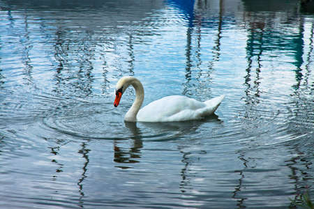 toned image: White Swan in blue background - toned image