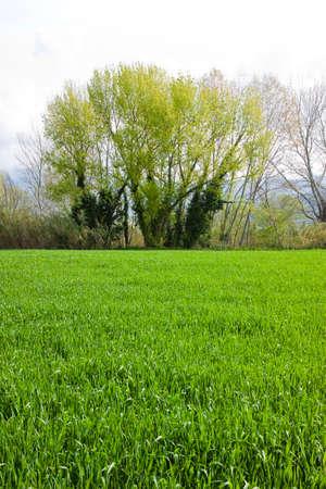 wheatfield: Isolated trees in a wheatfield (Tuscany - Italy) Stock Photo