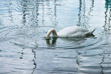 callidryas: White Swan with head underwater Stock Photo
