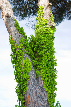 plants and trees: Invasive ivy plant climbing up a pine tree