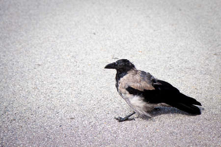 copy sapce: Fine example of a raven isolated on asphalt with copy sapce