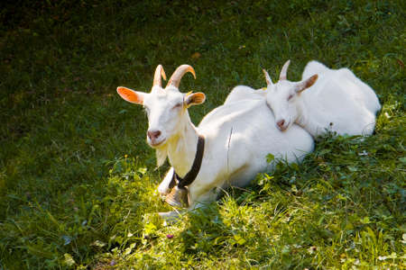 A female goat in the grass with her puppy