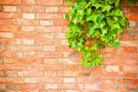 ivy wall: Brick wall covered in ivy - image with copy space Stock Photo