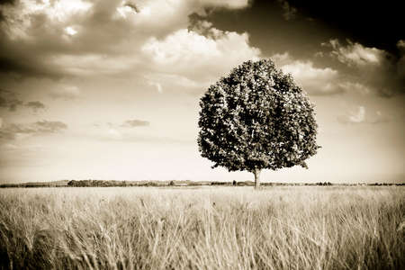Isolated tree in a tuscany wheatfield - (Tuscany - Italy) toned image