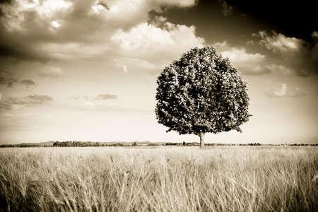 Isolated tree in a tuscany wheatfield - (Tuscany - Italy) toned image