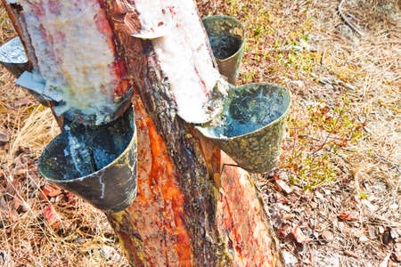insoluble: Extraction of natural resin from pine tree trunks - (Europe - Portugal). The resin is used for various purposes: for the tanning of skins; for the production of paints; to obtain essential oils; for various forms of therapies and so on. Stock Photo