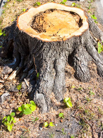 Detail of tree stump from recently cut tree.  Linden tree was cut because sick and was threatening to collapse