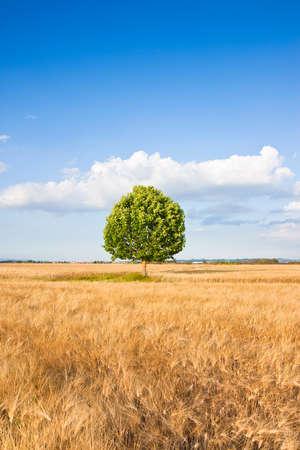 wheatfield: Isolated tree in a tuscany wheatfield - (Tuscany - Italy) Stock Photo