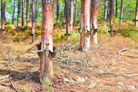 insoluble: Extraction of natural resin from pine tree trunks - (Europe - Portugal) .The resin is used for various purposes: for the tanning of skins; for the production of paints; to Obtain essential oils; for various forms of therapies and so on.