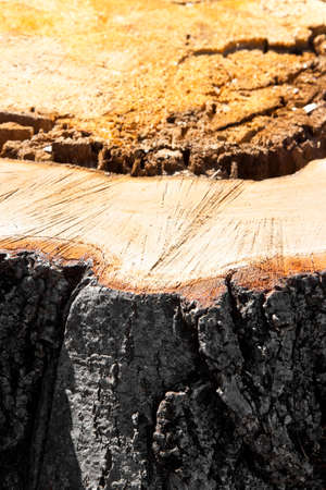 recently: Detail of tree stump from recently cut tree.  Linden tree was cut because sick and was threatening to collapse