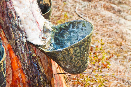 Extraction of natural resin from pine tree trunks - (Europe - Portugal). The resin is used for various purposes: for the tanning of skins; for the production of paints; to obtain essential oils; for various forms of therapies and so on. Stock Photo