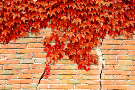 Cracked brick wall with red climbing ivy - image with copy space Stock Photo