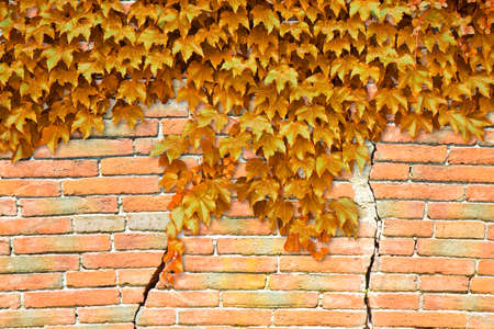 Cracked brick wall with yellow climbing ivy - image with copy space