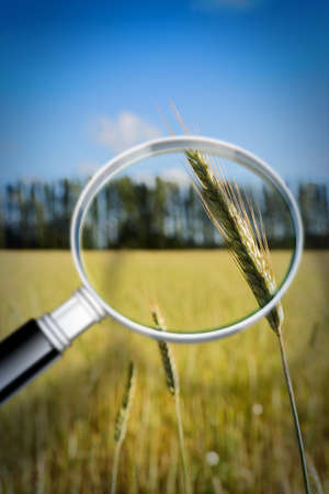 Control of growth and research of wheat diseases - concept image Stock Photo