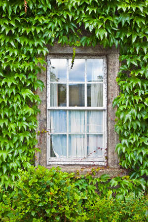 Typical old irish window with wall covered in ivy (Ireland)