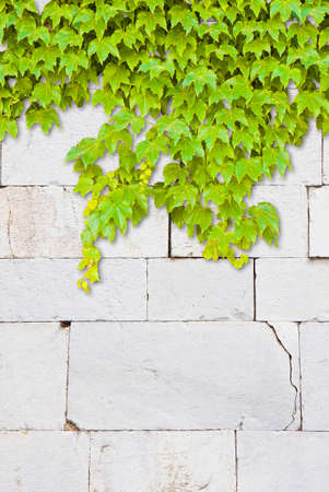 Cracked white stone wall with climbing ivy - image with copy space