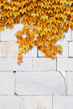 Cracked white stone wall with yellow climbing ivy - image with copy space