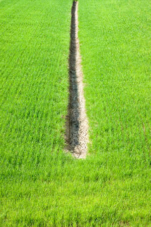 Wheat green field with a ditch, for collecting water, at the center - Image with copy space (Tuscany - Italy) Foto de archivo - 92547777