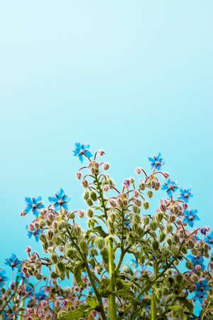 Borage is a herbaceous plant, with small blue flowers. Useful as an emollient relieves respiratory disorders