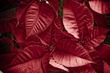 Detail of the leaves of a poinsettias plant