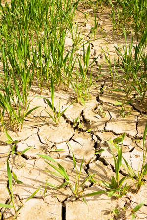 Wheat field with vast unproductive areas - famine concept Stock Photo