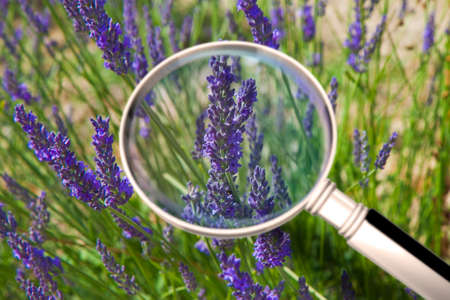 Lavender fields in the Tuscan countryside - Lavender used as aromatherapy or alternative therapy (Tuscany - Italy) - Concept image seen through a magnifying glass.